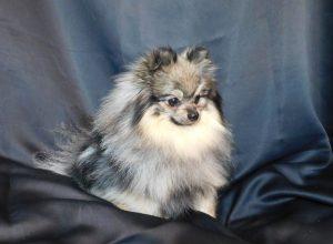 Royal Fluffy OUZO – Mâle Gris Loup
